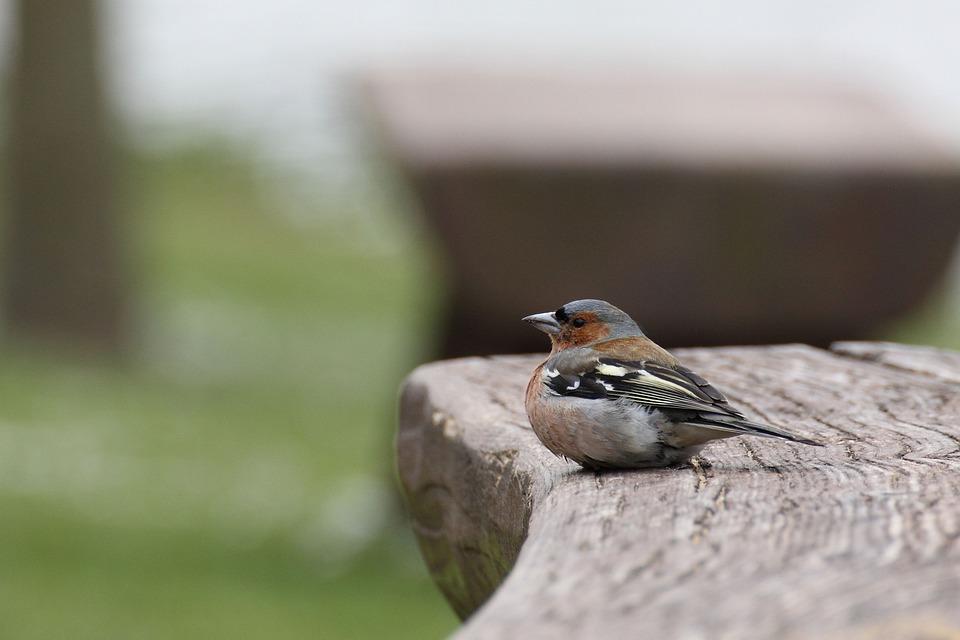 Chaffinch, Bird, Fink, Songbird, Animal