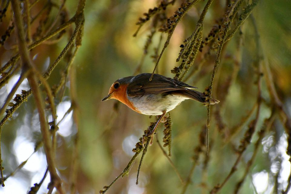 Robin, Bird, Songbird, Close Up, Garden Bird, Tree