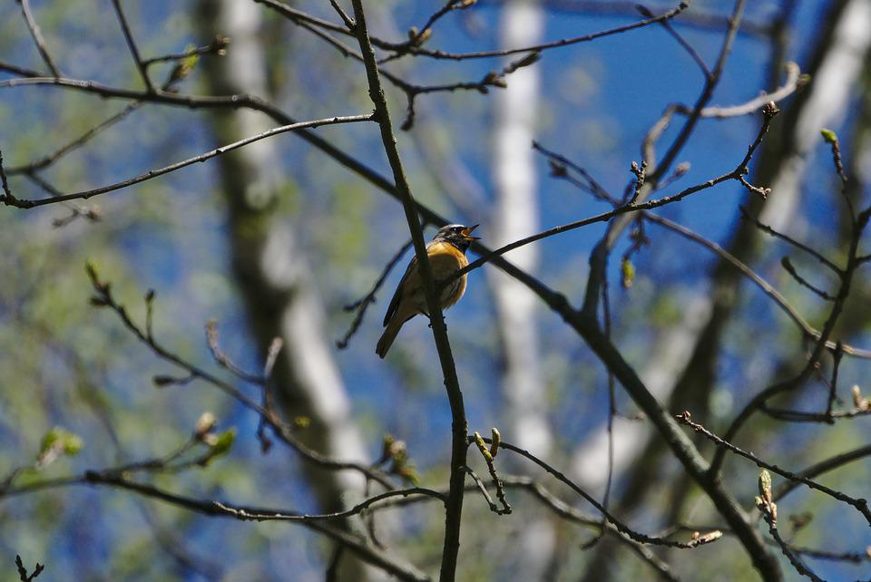 Common Redstart, Songbird, Nature, Twitter