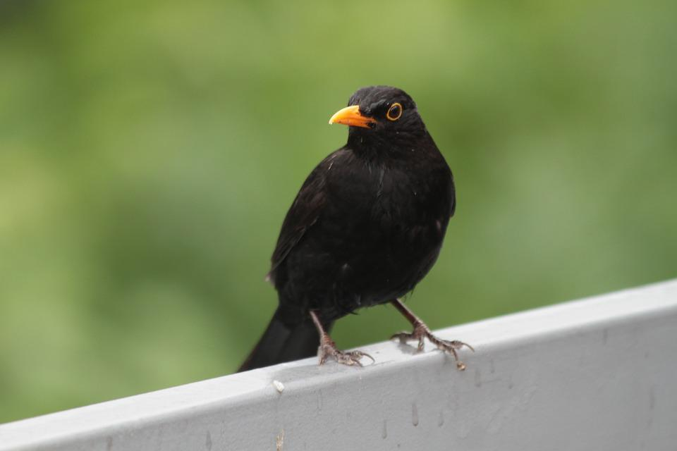 Bird, Blackbird, Songbird, Nature, Black, Bill