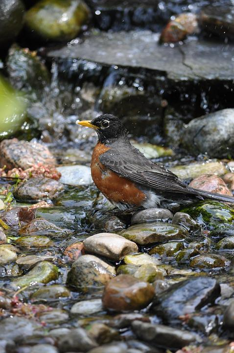 Robin, Bird, Songbird, Wildlife, Redbreast, Nature