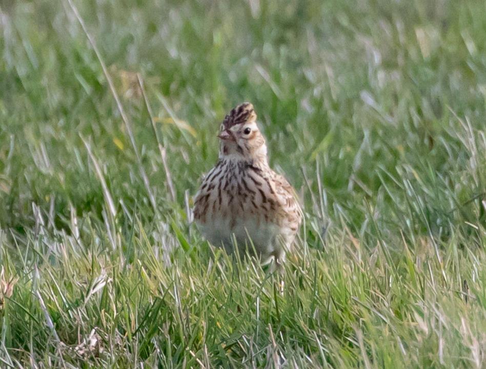 Skylark, Song Bird, Songbird, Sky Lark, European