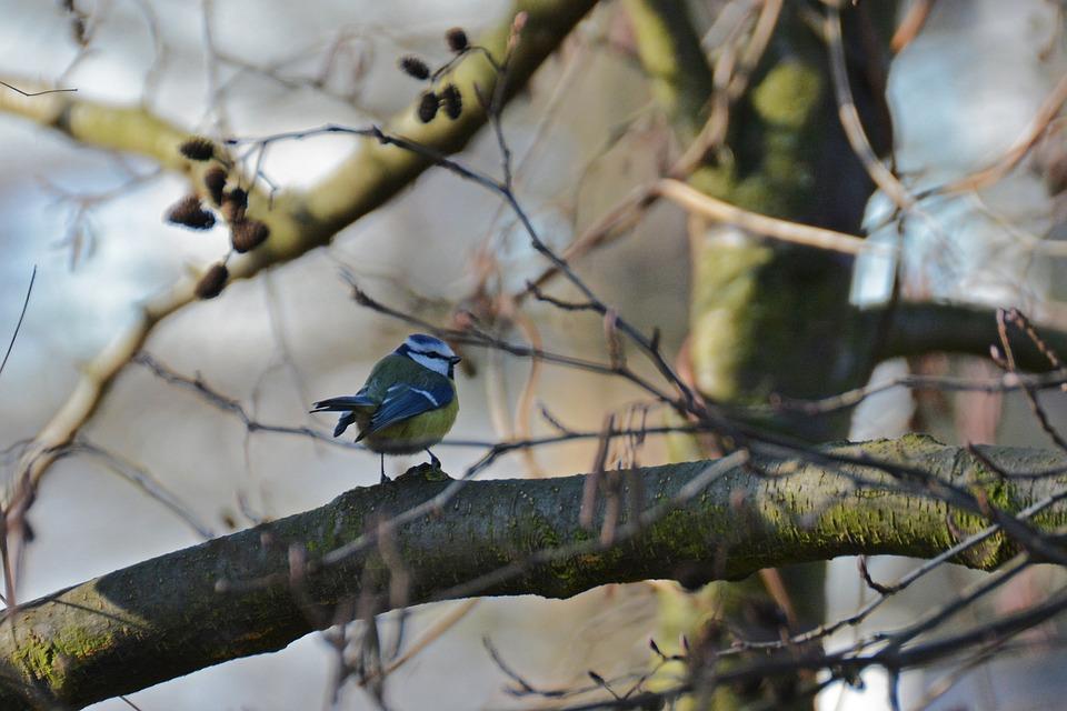 Blue Tit, Tit, Bird, Songbird, Small Bird