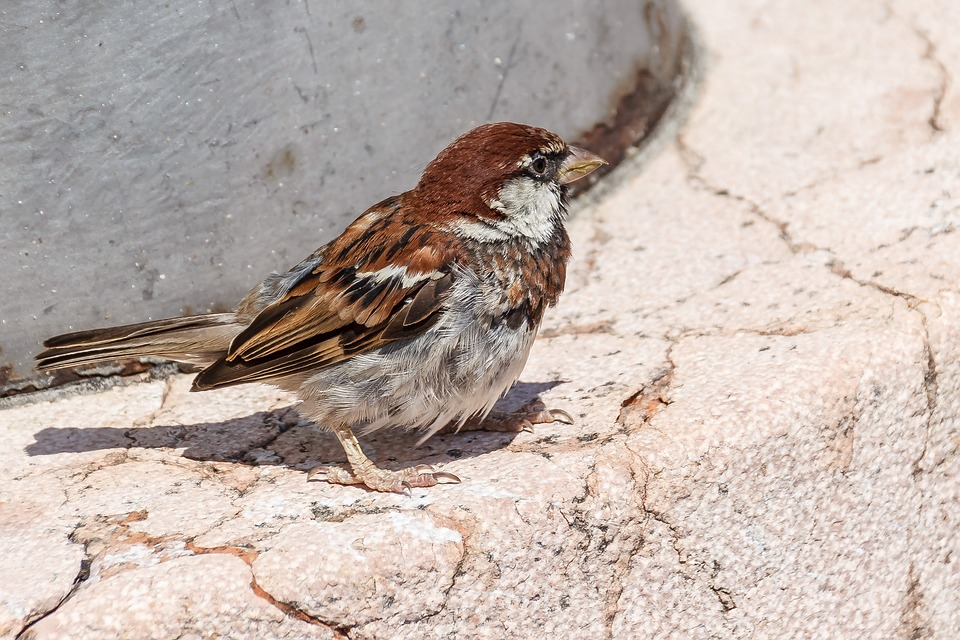 Bird, Sparrow, Foraging, Sperling, Birds, Songbird