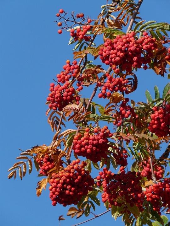 Mountain Ash, Ash, Rowan, Sorbus Aucuparia