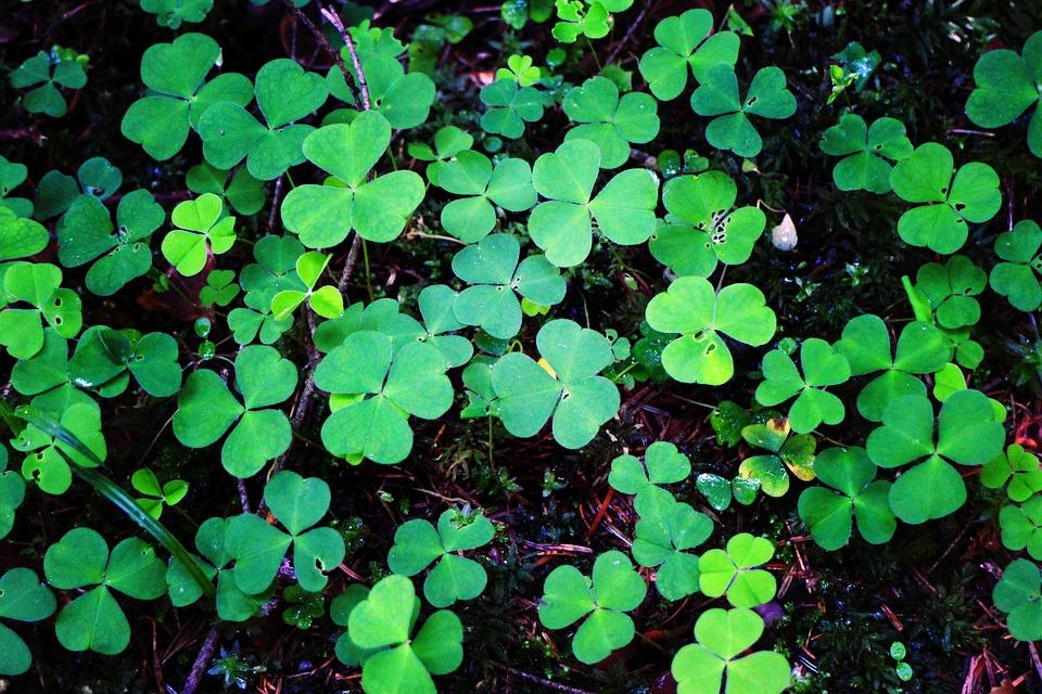 Klee, Forest Clover, Sorrel, Plant, Green, Forest