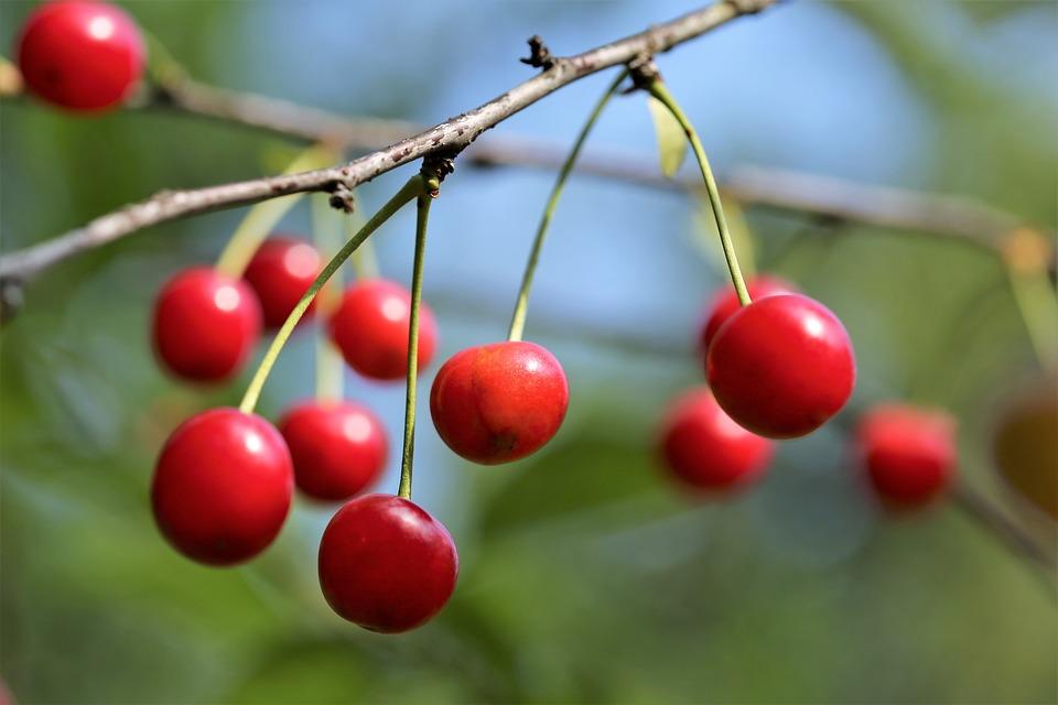 Sour Cherrys, Fruit, Fresh, Branch, Healthy, Juicy