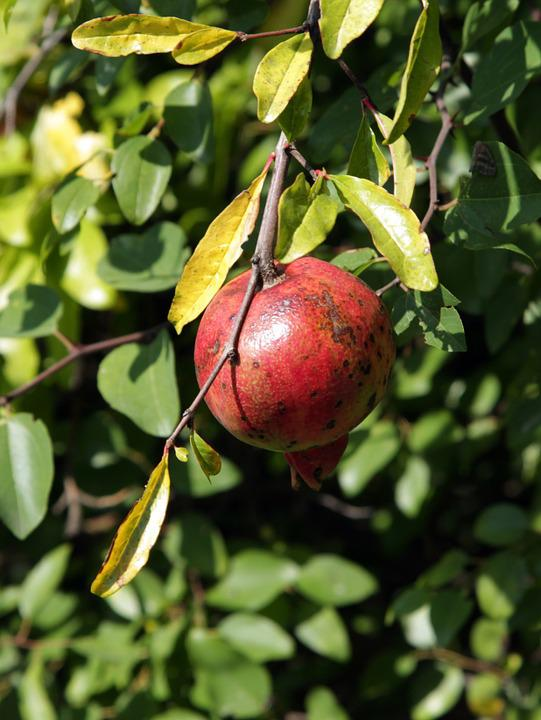 Pomegranate, South, Abkhazia