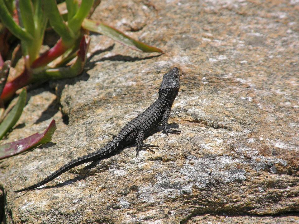 South Africa, Cape Of Good Hope, Fauna, Lizard