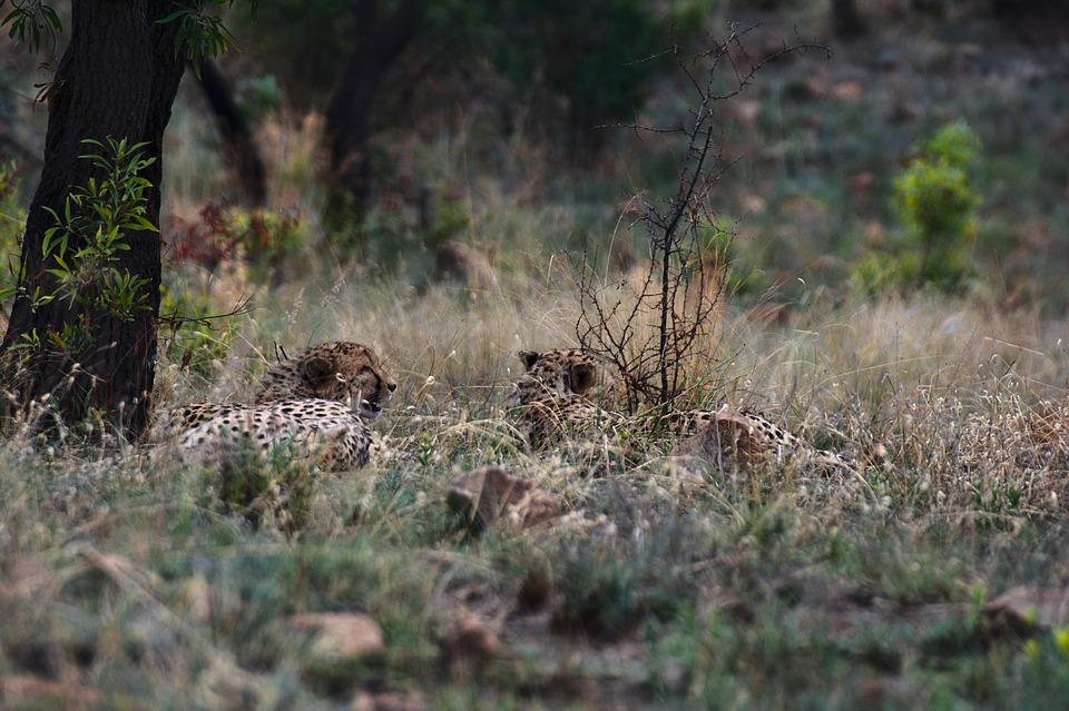 Cheetah, Safari, South Africa, Nature, Wild, Africa