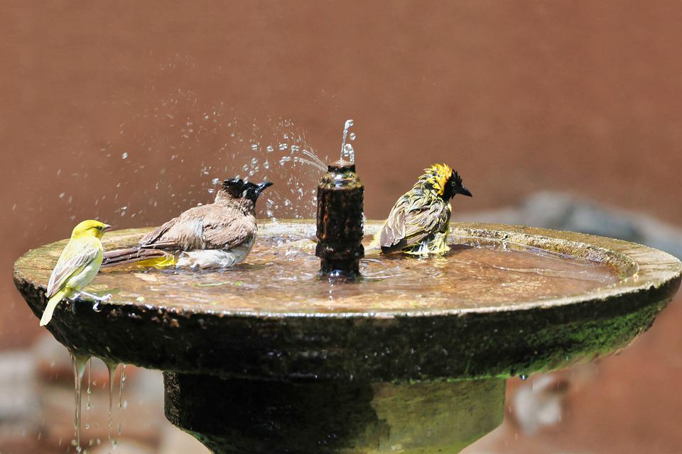 Birds, Bath, South Africa, Bird, Pen, Drink, Cute