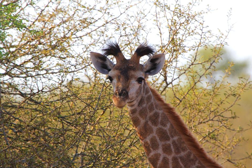 Giraffe, South Africa, Animals, Nature, Wild, Wildlife