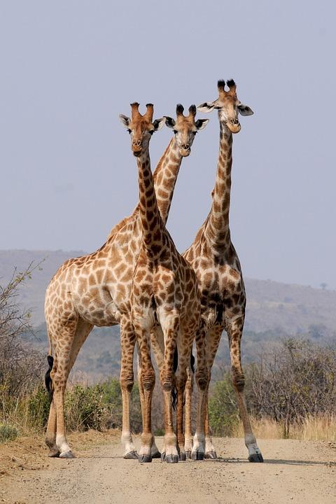 South Africa, Hluhluwe, Giraffes, Pattern, Formation