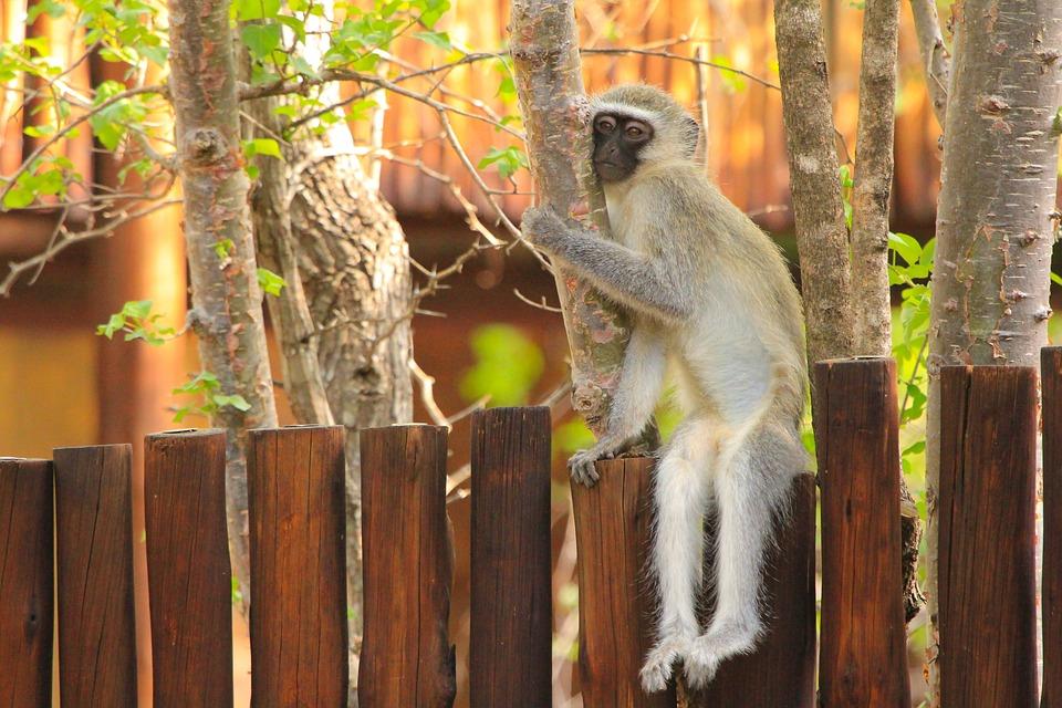 Monkey, South Africa, Nature, Animal World, Animals