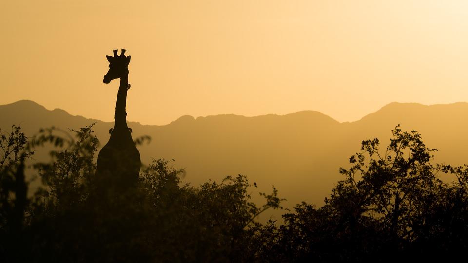 Giraffe, Sunset, Yellow, Sky, South Africa, Africa