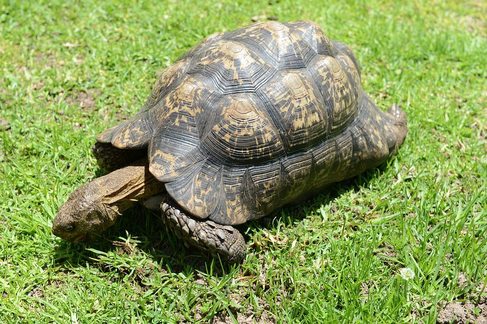 Turtle, Reptile, South Africa, Tortoise