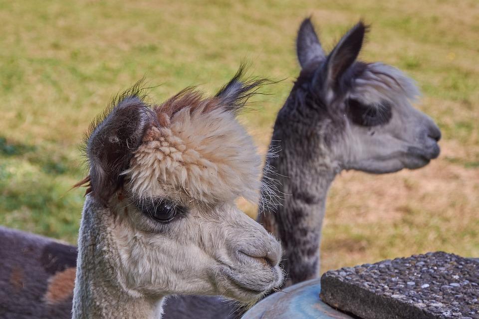 Alpaca, South America, Peru, Nature, Animal World