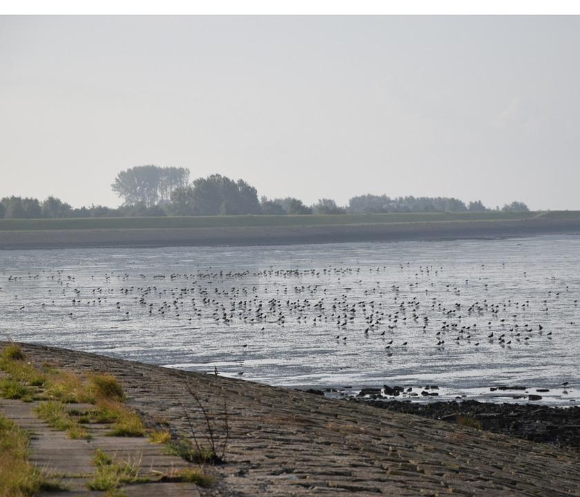 Waterfowl, South Holland, Zeeland, Ebb, Flood