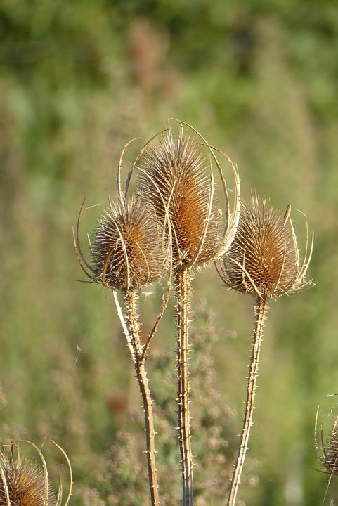 Teazle, Dried Flowers, South Of France, Field, Summer