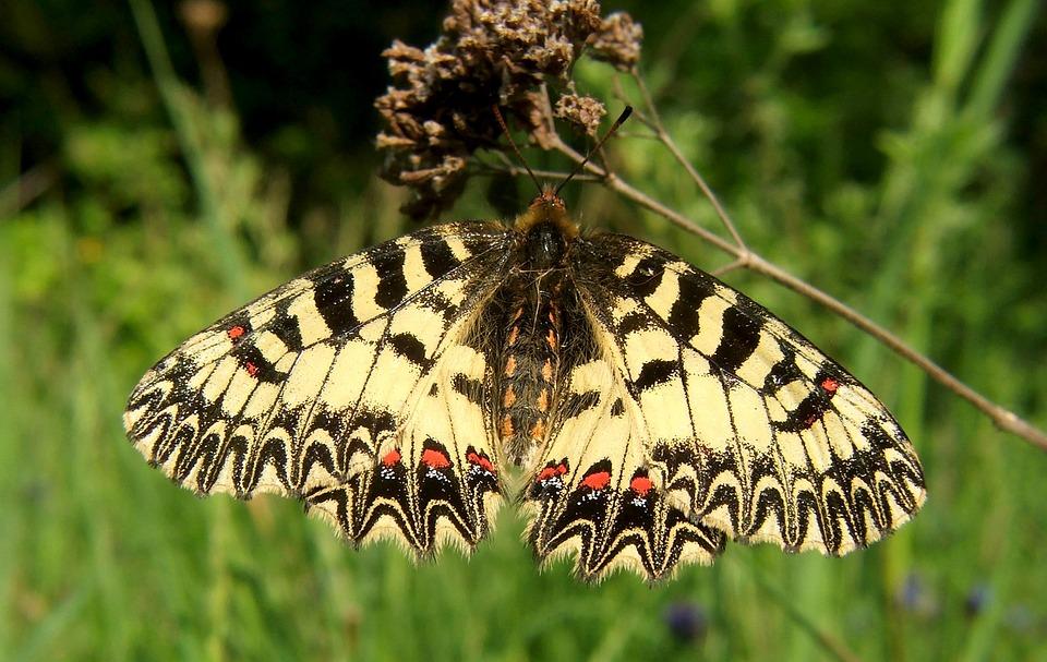 Butterfly, Southern Festoon, Polyxena, Zerynthia