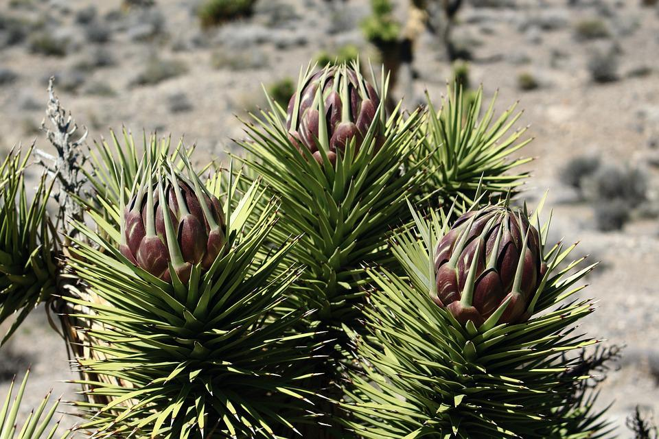 Joshua, Bloom, Flower, Desert, Southwestern