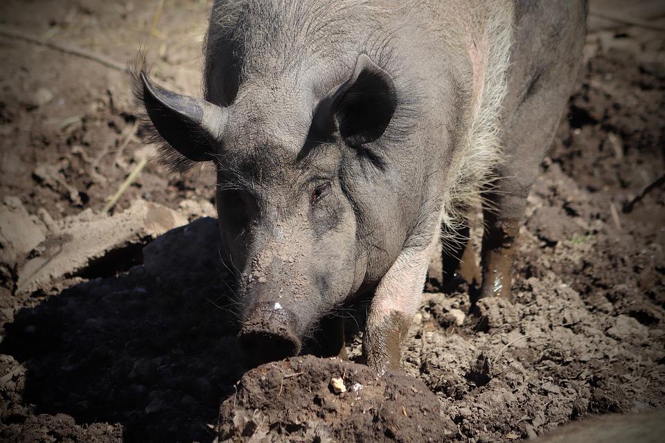 Pig, Domestic Pig, Pet, Livestock, Mud, Sow, Mammal
