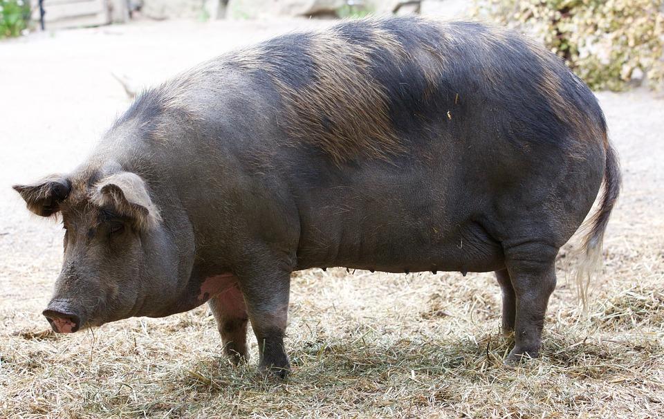 Pork, Pig, Sow, Black, Animal, Wild Boar, Gascon Pig
