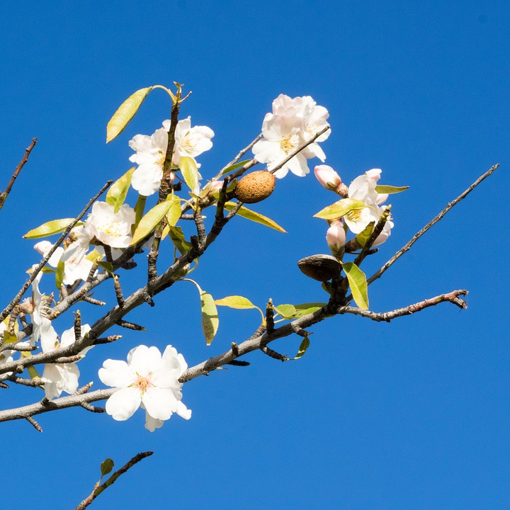 Almond Blossom, Spain, Almond Tree, Flowering Twig