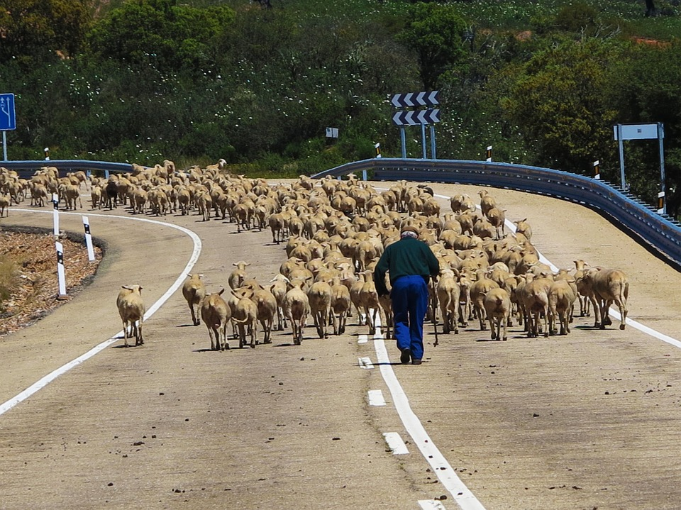 Sheep, Herd, Drove, Blocking, Road, Spain, Farmer