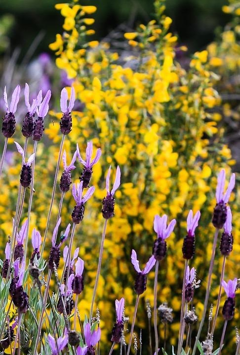 Spain, Extremadura, Flower, Nature, Flora, Herbal