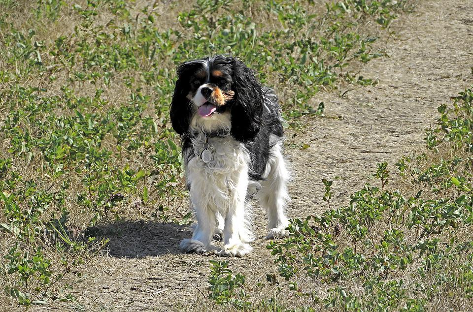 Top Cavalier Canine Adorable Dog - Spaniel-Puppy-King-Charles-Cavalier-Dog-Canine-2667398  Graphic_642917  .jpg