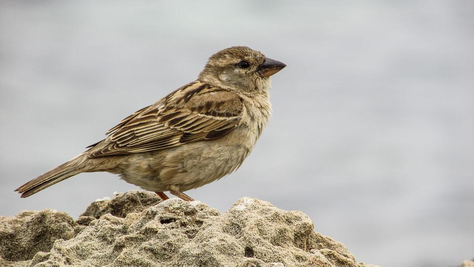 Sparrow, Young, Cute, Small, Bird, Animal, Cyprus