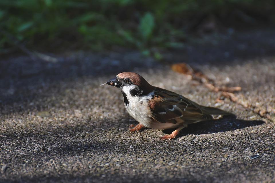 Sparrow, Sperling, Bird, Sitting, Animal, Feathers