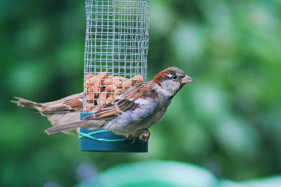 Sparrow, Sperling, House Sparrow, Close, Bird