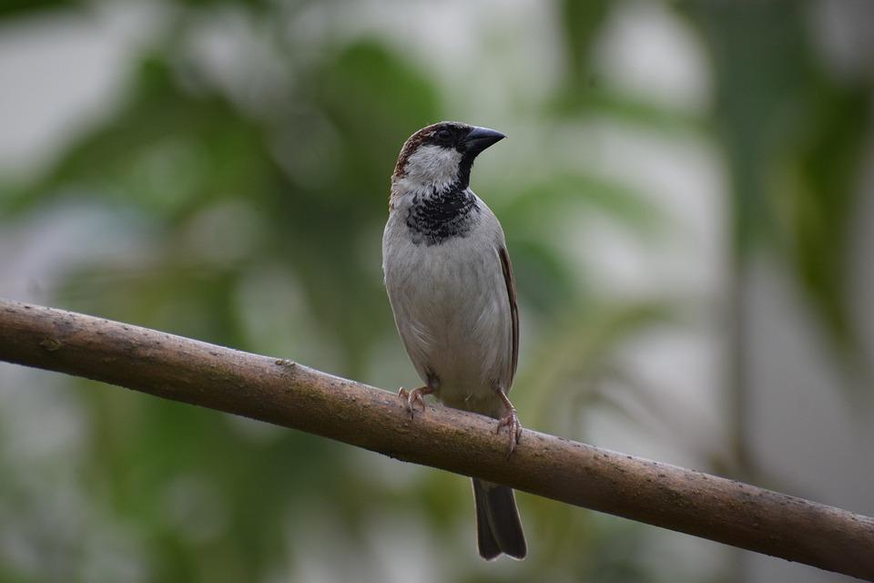 Sparrow Bird, Male Sparrow, Sparrow, Bird, Branch