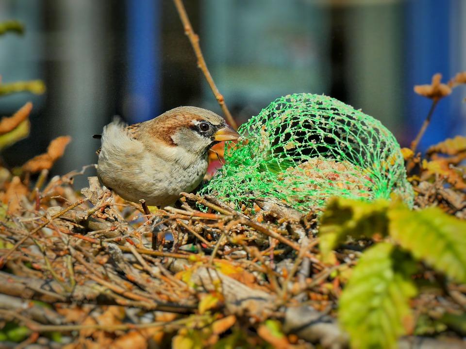 Sparrow, Songbird, Bird, Bird Watching, Wildlife