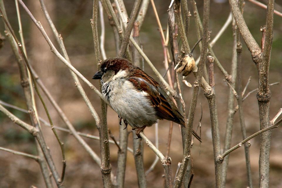 Sparrow, Tree, Birds
