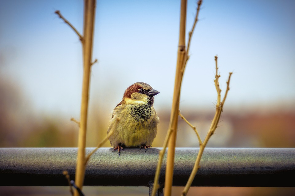 Sparrow, Bird, Close, Foraging, Plumage, Nature