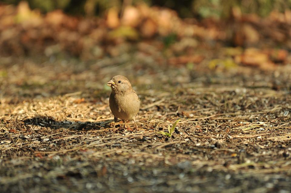 Sparrow, Bird, Nature, Leaves, Leaf, Sperling, Songbird
