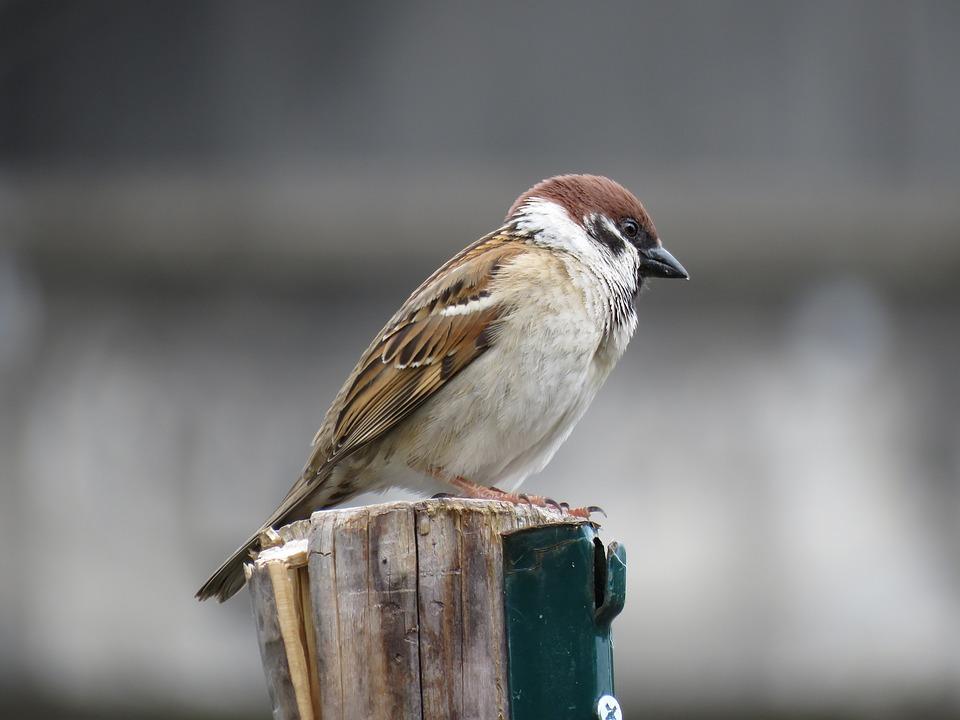 Animal, Wild Birds, Little Bird, Sparrow, Natural