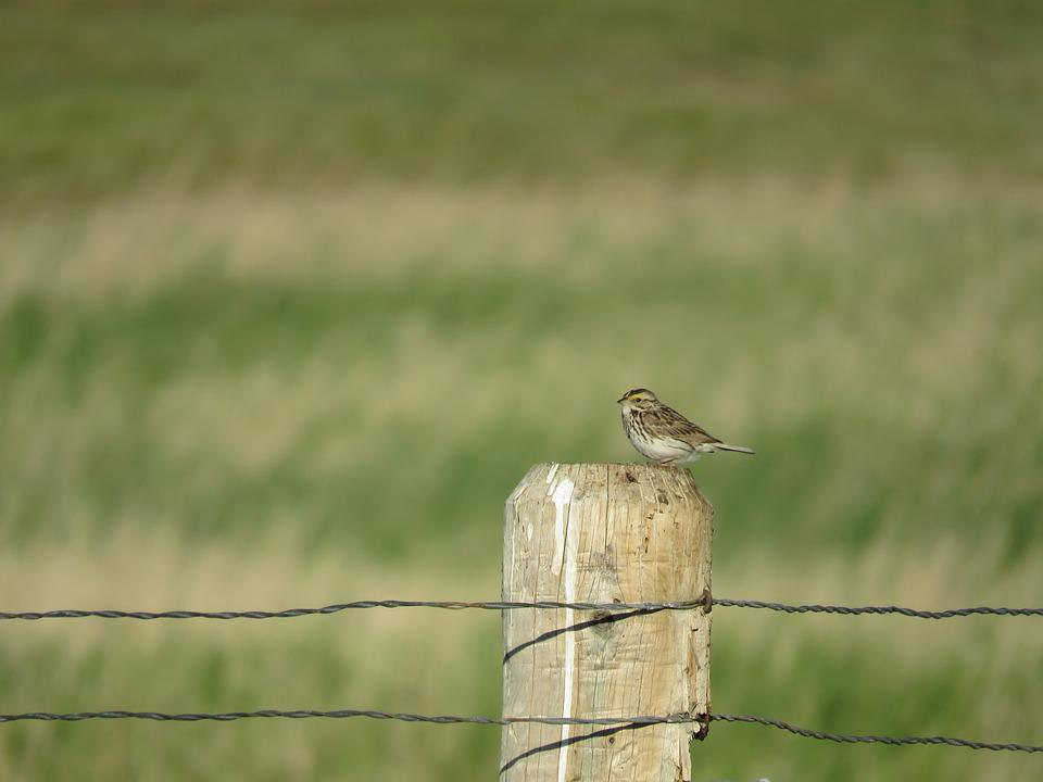 Sparrow, Fence, Nature, Bird, Wildlife, Wild, Outdoors