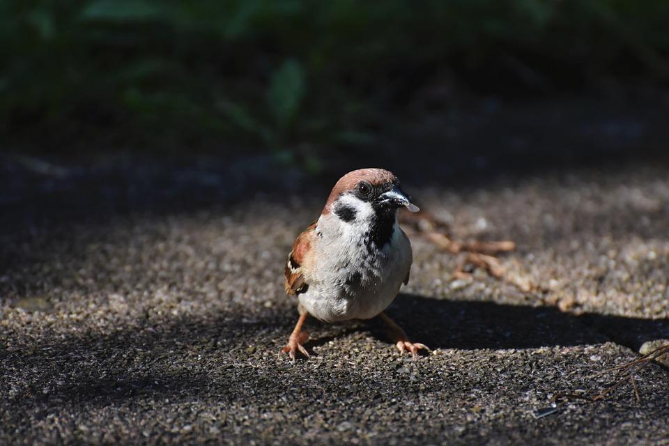 Bird, Sparrow, Ornithology, Species, Animal, Passerine