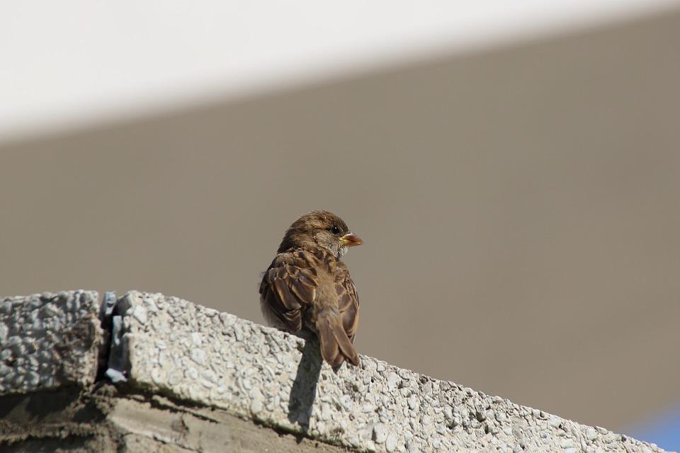 Sparrow, Sperling, Songbird, Bird, City