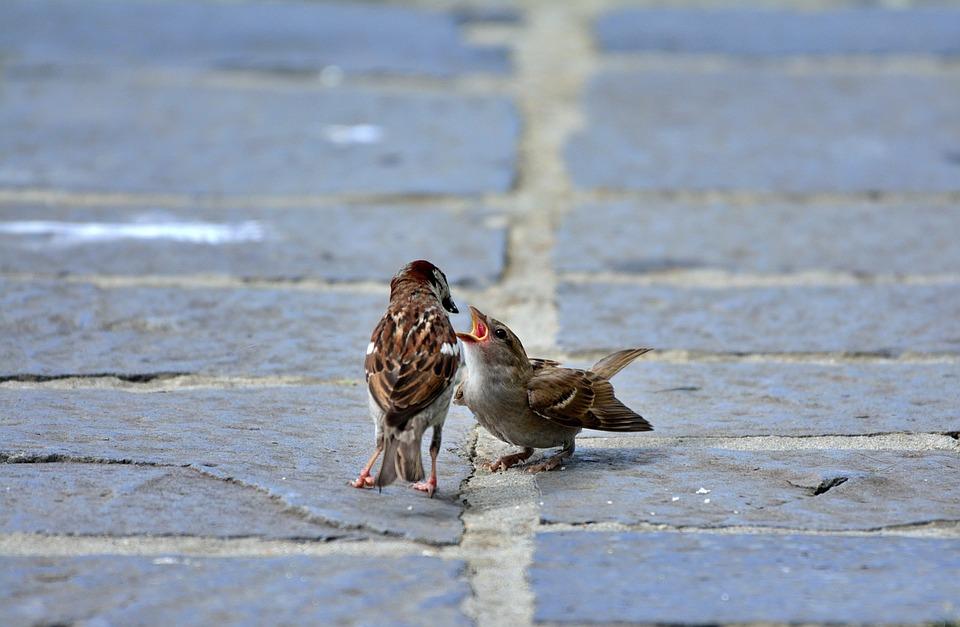 Sparrow, Bird, Nature, Birds, Sparrows