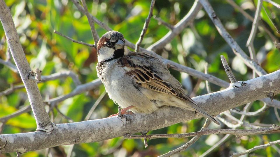 Cyprus, Sparrow, Bird, Tree