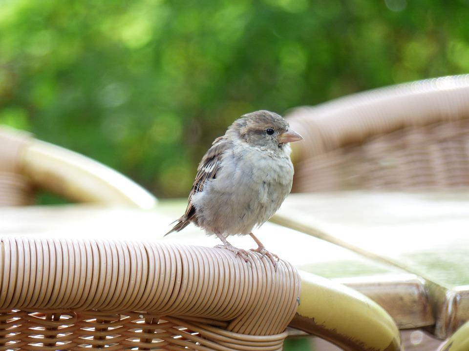 Sparrow, Bird, Animals, Wicker Chair