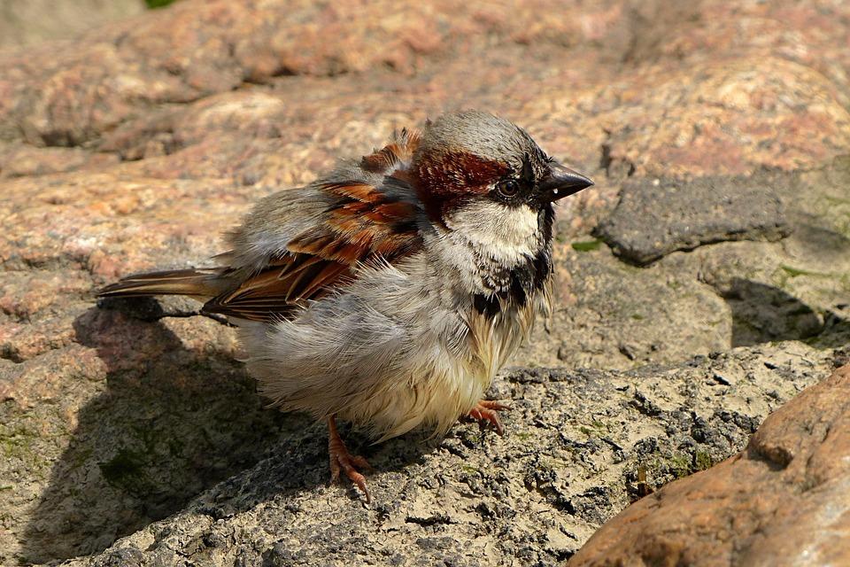 Bird, Sparrow, Young, Foraging
