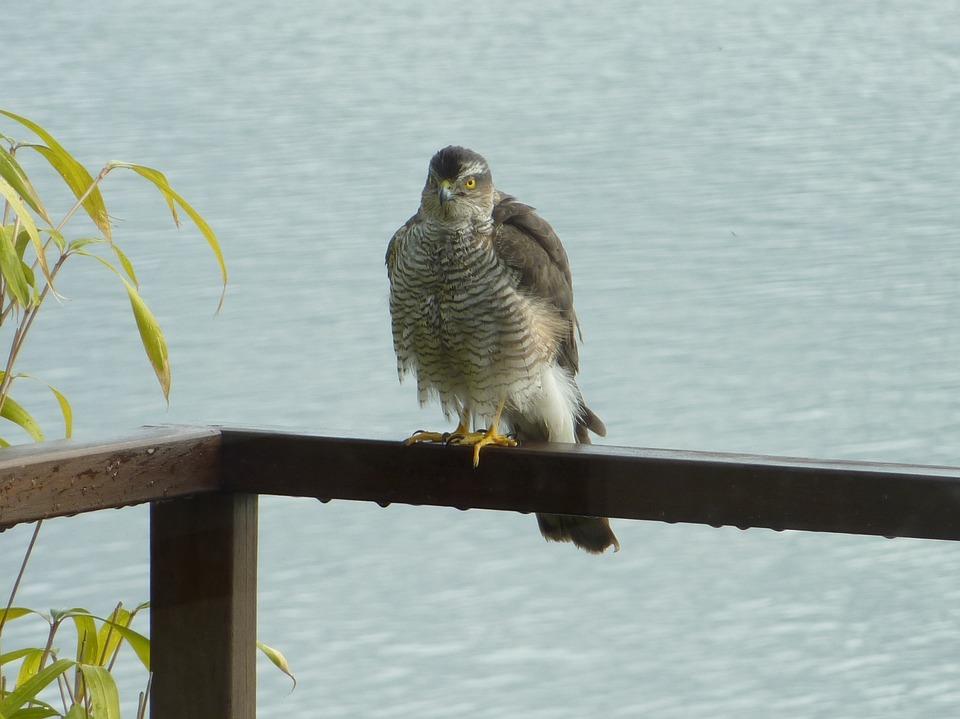 Sparrowhawk, Bird Of Prey, Bird