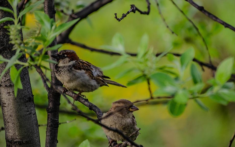 Birds, Sparrows, Tree, Branches, Aves, Avian