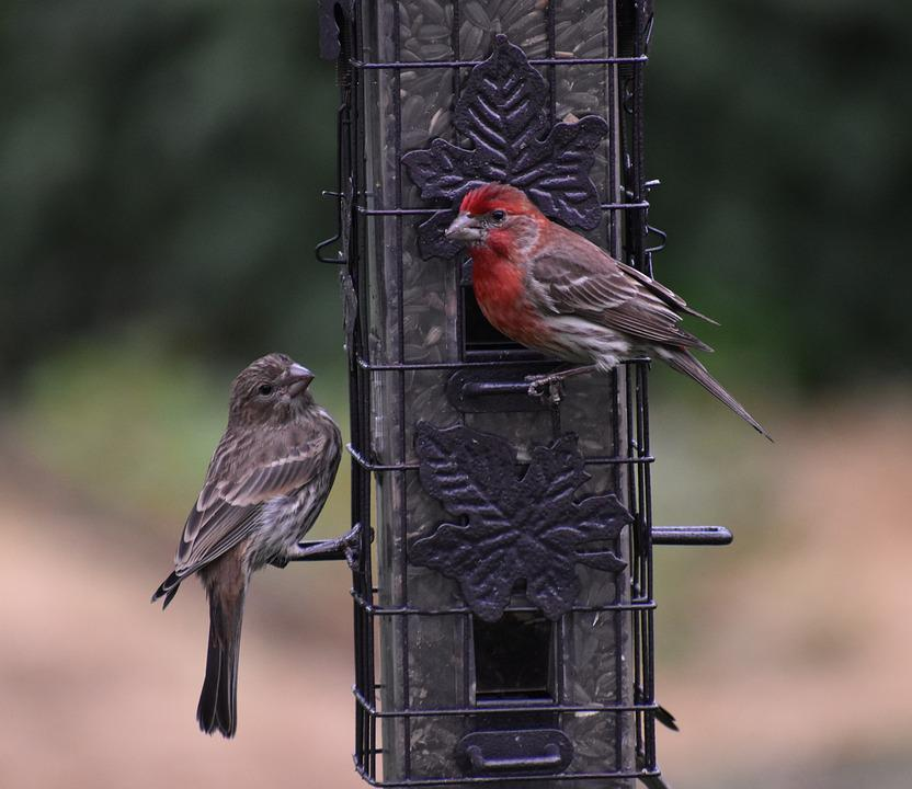 Sparrows, Birds, Bird Feeder